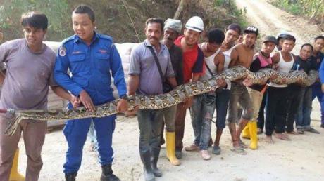 giant-python-pulau-pinang-data-72153.jpg