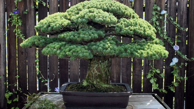 hiroshima-bonsai-tree-21.jpg