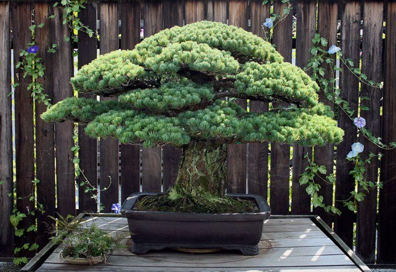 hiroshima-bonsai-tree-21.jpg