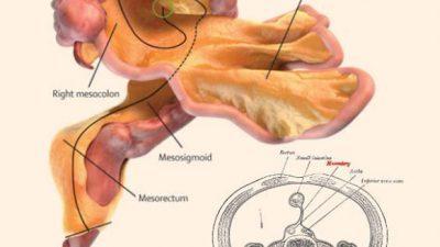 Новиот човечки орган доби име – мезентериум