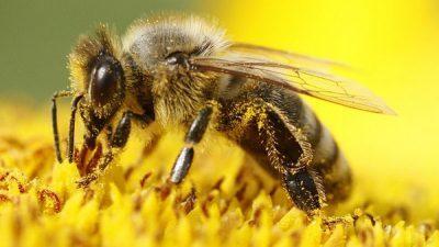 Пчелите би можеле да бидат заменети со дронови