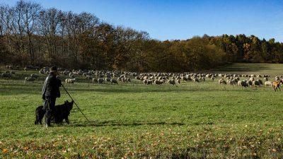 Професор по педагогија, не најде работа, па се повлече на село – Чува 300 овци