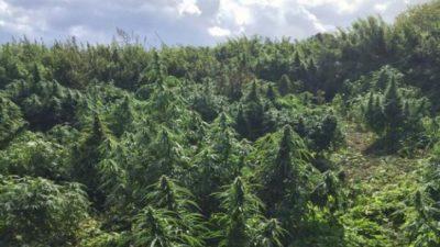 Во Охрид никнуваат полиња со марихуана