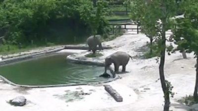 Eмотивен момент: Maјката и друг возрасен слон се обидуваат да спасат малечко слонче