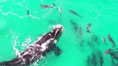 Снимкa oд кит кој ужива во играта со делфини