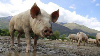 Кина ќе им плаќа на фармерите за животинскиот отпад да го претвораат во енергија