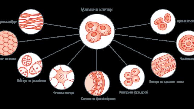 maticne-celije-tipoviMK.png