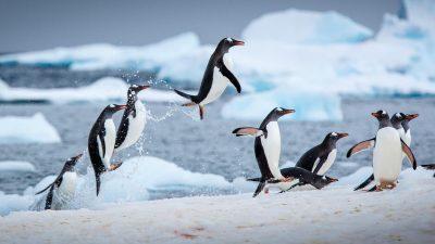 Невидена катастрофа на Антарктикот: 40.000 пингвини умреле од глад!