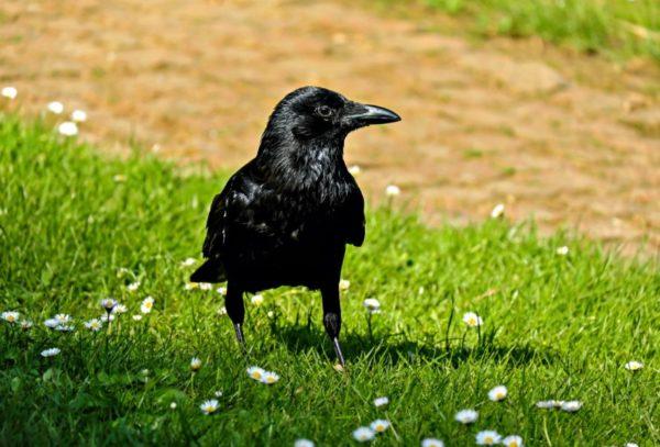 vrana.jpg