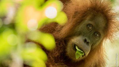 Откриен нов вид на орангутан (и е автоматски загрозен)