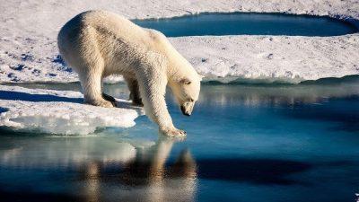Бројот на белите мечки во Арктикот во пораст