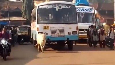 Зад ова видео се крие многу тажна приказна: Зошто оваа крава секој ден доаѓа на исто место?