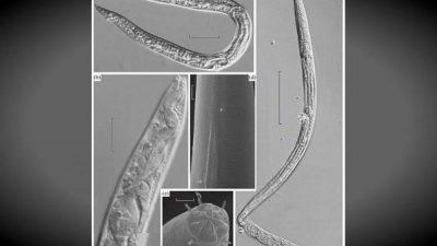 Научници oживеаа црви кои 42.000 години биле замрзнати во Сибир