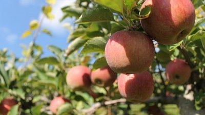 ШАНСА ЗА РАБОТА: Во оваа земја фалат 10.000 берачи на јаболка