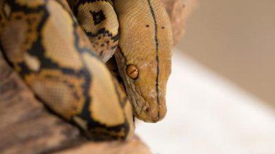 Змиите панично се плашат од само една работа
