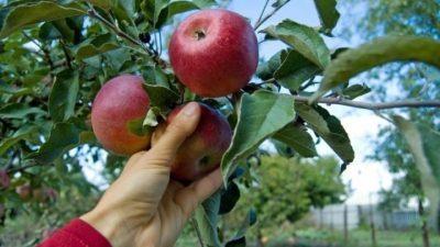 БиХ бараат берачи на јаболка, дневница 1.200 денари