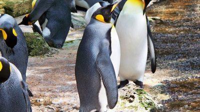 Речиси исчезна најголемата кралска колонија на пингвини