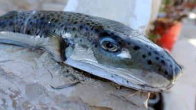 Предупредување во Грција: Ако ја видите оваа риба, бегајте