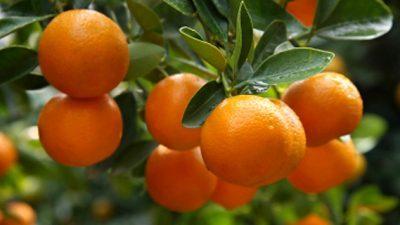 Хрватска бара берачи на мандарини – дневница одлична, но има една замка