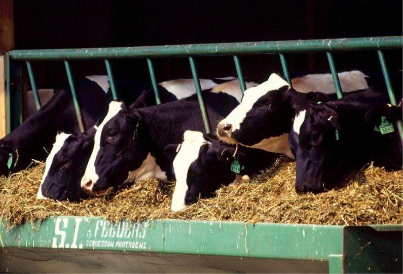 cows-5267-pixabay.jpg