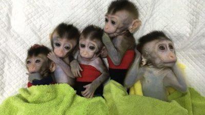 Кинески научници клонирале мајмуни за да го истражуваат нарушувањето на сонот