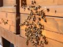 Пчелите на покривот на собранието во Виена годишно …