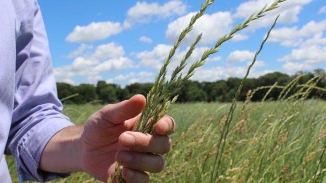 kernza-crop-e1556103131695.jpg