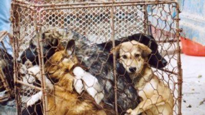 Во Азија годишно јадат 30 милиони кучиња