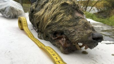 Во Сибир пронајдена глава на волк стара 40 000 години, …