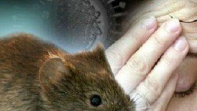 Јапонски научници оживеаја мозок од мртов глушец