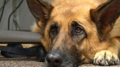 Германската армија ќе обучува кучиња да препознаваат коронавирус