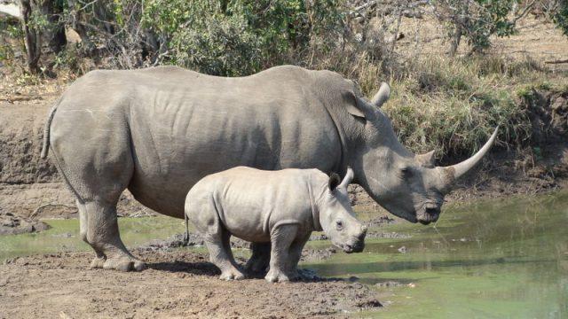 Megjunaroden-tim-za-beliot-nosorog-Nauchnici-rabotat-za-spas-od-istrebuvanje.jpg