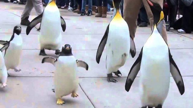 Ginisov-rekord-Pingvinot-Olde-napolni-41-godina.jpg