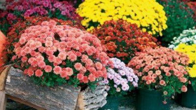 Овие цветови се посебен симбол на есента: Убаво е да ги имате, носат оптимизам и љубов во домот