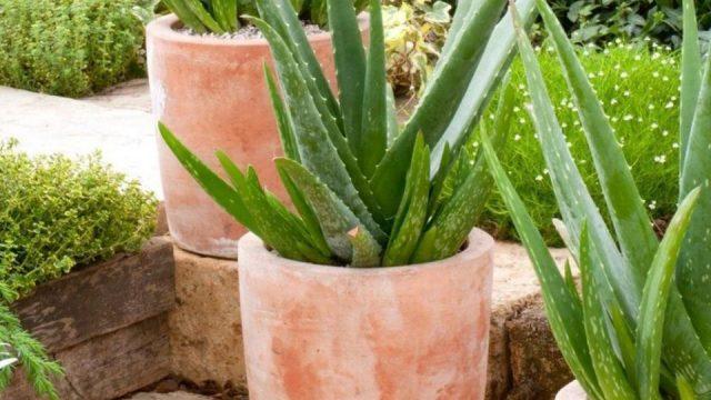 Eve-zoshto-e-vazno-doma-da-imate-kaktus-aloe-vera.jpg