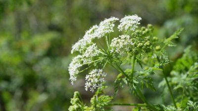 На изглед се прекрасни, но ова се најсмртоносните растенија во светот