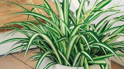 Ова растение треба да го има во секоја куќа: Го чисти воздухот од секакво загадување, но и носи среќа!