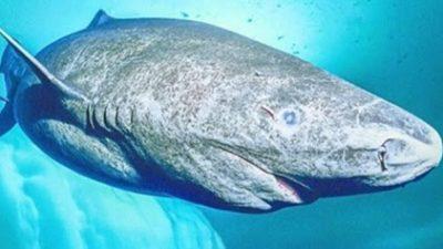 Најдолговечните животни на Земјата: Гренландската ајкула живее до 300 години
