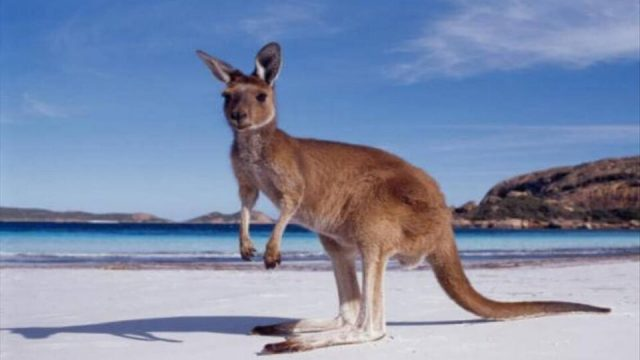 Otkriena-slika-od-kengur-stara-17.300-godini.jpg