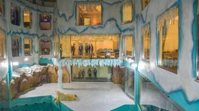 Атракција или мачење: Овој кинески хотел нуди поглед кон бели мечки, но не се сите воодушевени